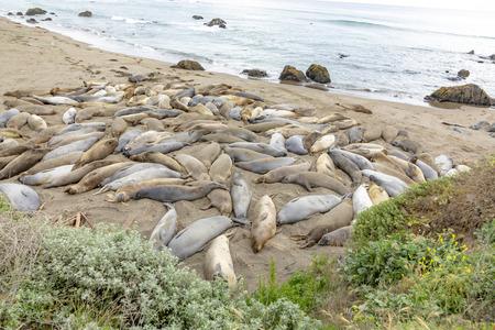 seals sleeping at the beach near San Simeon, California 免版税图像