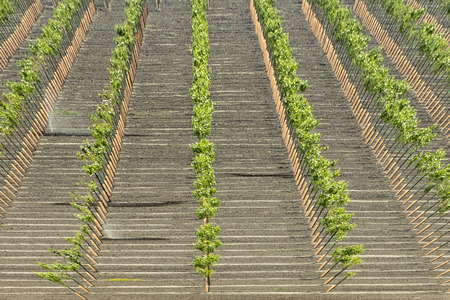vineyard for famous california wine at Bakersfield, California, USA