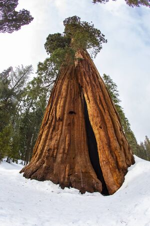 big sequoia tree in winter in the sequoia tree national park, USA Stock Photo