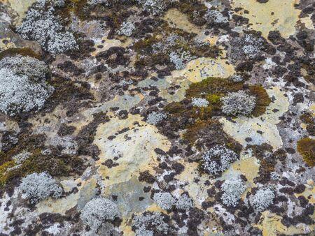 weave growing on volcanic soil in Iceland Zdjęcie Seryjne