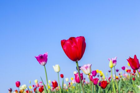 Spring field with blooming colorful tulips Stockfoto - 128605917