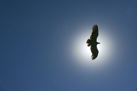 condor  flying in the sky with sun in background