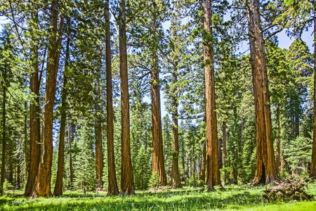 the famous big sequoia trees are standing in Sequoia National Park, Giant village area 스톡 콘텐츠