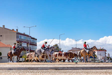 Samora Correia, Portugal - March 16, 2020: roundabout at Samora Correia with riders, horses and cows showing a traditional work of portugese Cowboys.