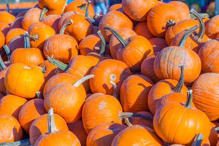 big pumpkins grow on a field in america