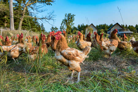chicken at a green meadow near Bar Harbor in the New england states