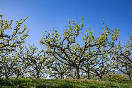 apple tree plantation near Igelheim, Germany under clear blue sky