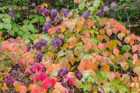 harmonic detail of colorful leaves in Indian Summer colors Фото со стока