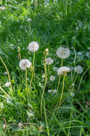 blowball at the meadow in detail as harmonic nature background