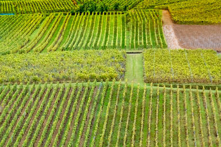 detail of vineyard with ripe grapes in the Alsace region in France