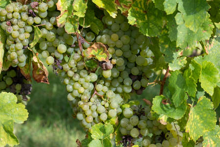 beautiful vine at the vineyards in the Alsace region in France Фото со стока