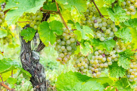 vineyard with ripe grapes in the Alsace region in France