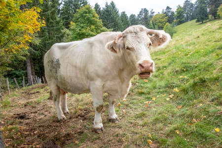 french milk cow at the green meadow at  mountain petit Ballon in the Alsace region of France, Europe