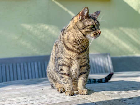 domestic cat enjoys sitting on a wooden table an watching his garden