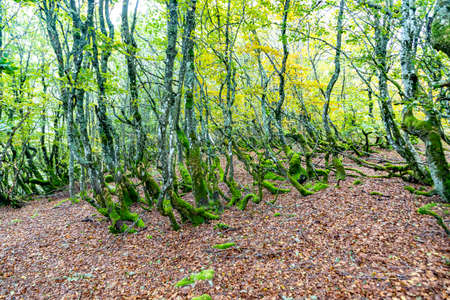 scenic old alder forest at Stosswihr, Alsace Фото со стока