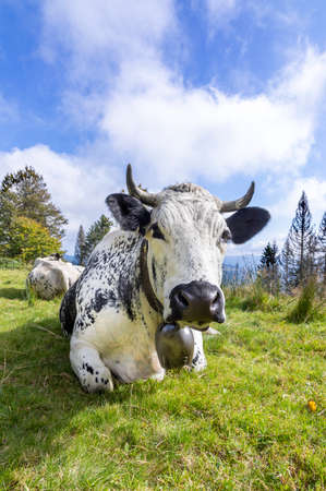 holstein cows in the Alsace region in france grasing at the alpine meadow Фото со стока