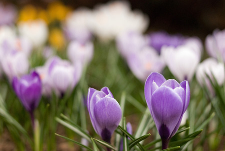 Crocus flowers with two purple crocuses in foreground