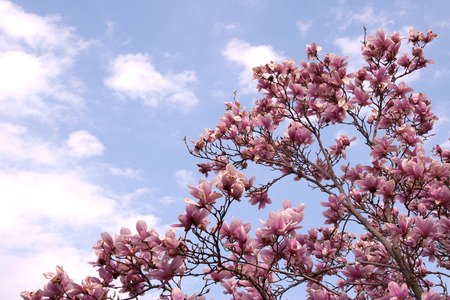 Photo of a red magnolia tree and flowers