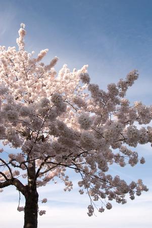 Cherry blossom tree in Washington, D C
