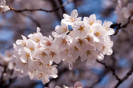 Photo of cherry blossom flowers in Washington, D C  Stock Photo