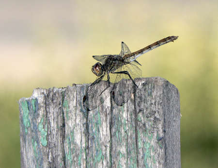 membranes: Dragonfly on a paling
