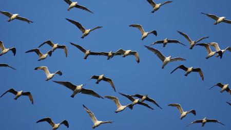 vol d oiseaux: Chez les oiseaux de vol