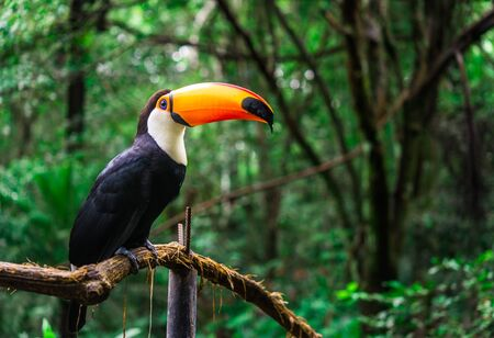 Toucan tropical bird in natural wildlife environment in rainforest jungle