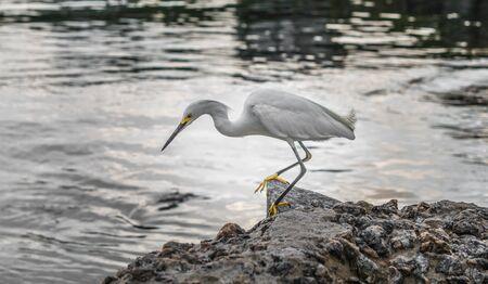 Close up of an egret heron bird near the water. 版權商用圖片