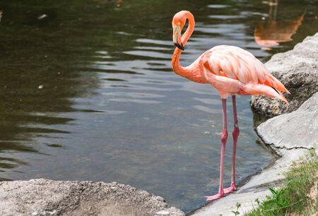 Close up of a flamingo exotic tropical rare bird in its natural environment.