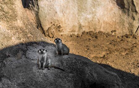 Meerkat suricate wildlife animal looking sideways in its natural environment Stock Photo