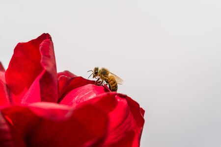 Macro photo of a red flower and a bee pollinating it in the park on a sunny day