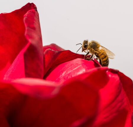 Macro photo of a red flower and a bee pollinating it in the park on a sunny day.