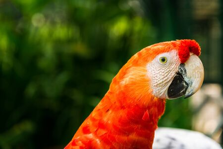 Close up of colorful macaw ara parrot in the jungle forest on a sunny day.
