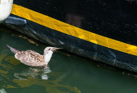 A duck eating a whole fish in the port area. Stok Fotoğraf