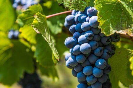 Raisins rouges sur une vigne dans un vignoble à Mendoza par une journée ensoleillée,