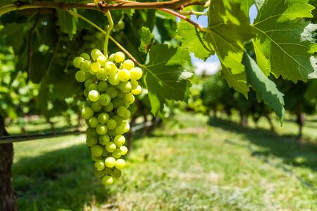 White grapes on a vine in a vineyard in Mendoza on a sunny day. Zdjęcie Seryjne