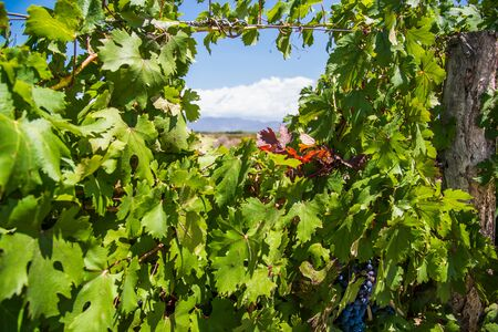 Vine plants in a vineyard in Mendoza on a sunny day with blue sky.