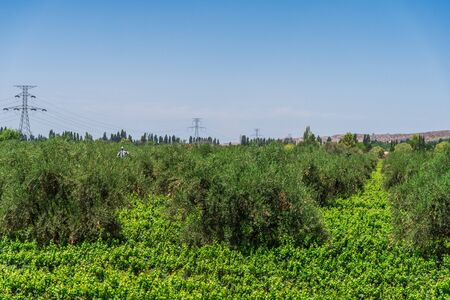 View at vine plants and olive trees in a vineyard in Mendoza, Argentina.