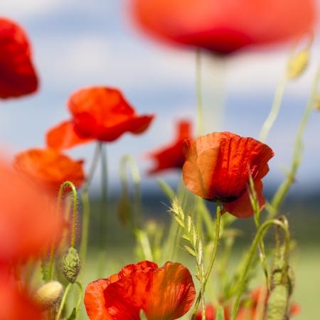 field poppy on meadow  Stock Photo - 23338350