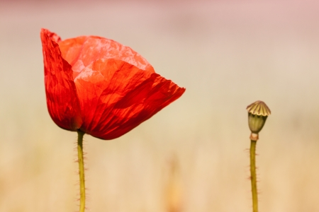 field poppy on on blured background Stock Photo - 23338351