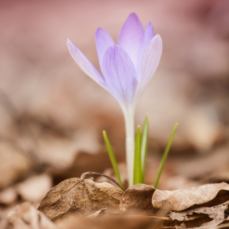 crocus flower on blured background Stock Photo - 23338357