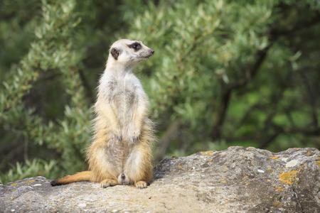 suricate: Suricate - Meercat Photo