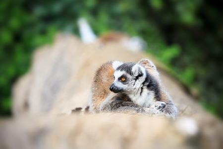 catta: Lemur Catta Photo Stock Photo