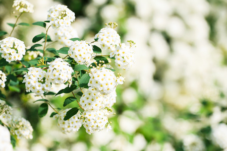 White Bush in Blossom Photo photo