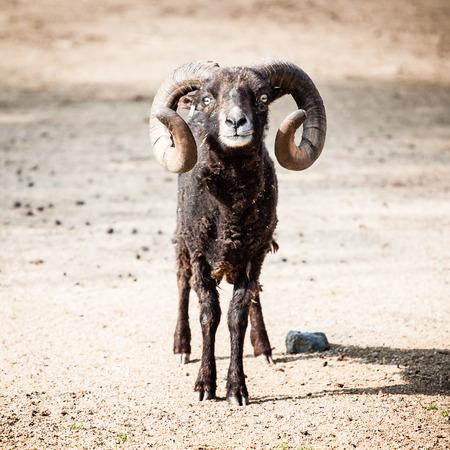 mouflon: Mouflon Funny Photo