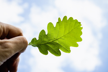 Hand Holding Oak Leaf against Blue Sky photo