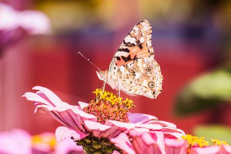 vanessa: vanessa cardui butterfly on flower photo