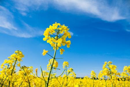 青い空と黄色の菜種のフィールド