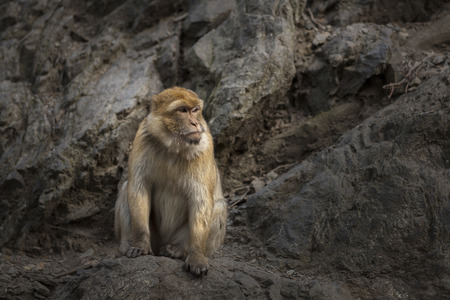 macaque: Macaca Macaque Monke with Rock on Background