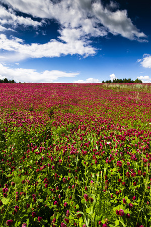 Red Feather - Trifolium Rubens Field with Blue Sky and Clouds. Jelitto Perennial Feeld.